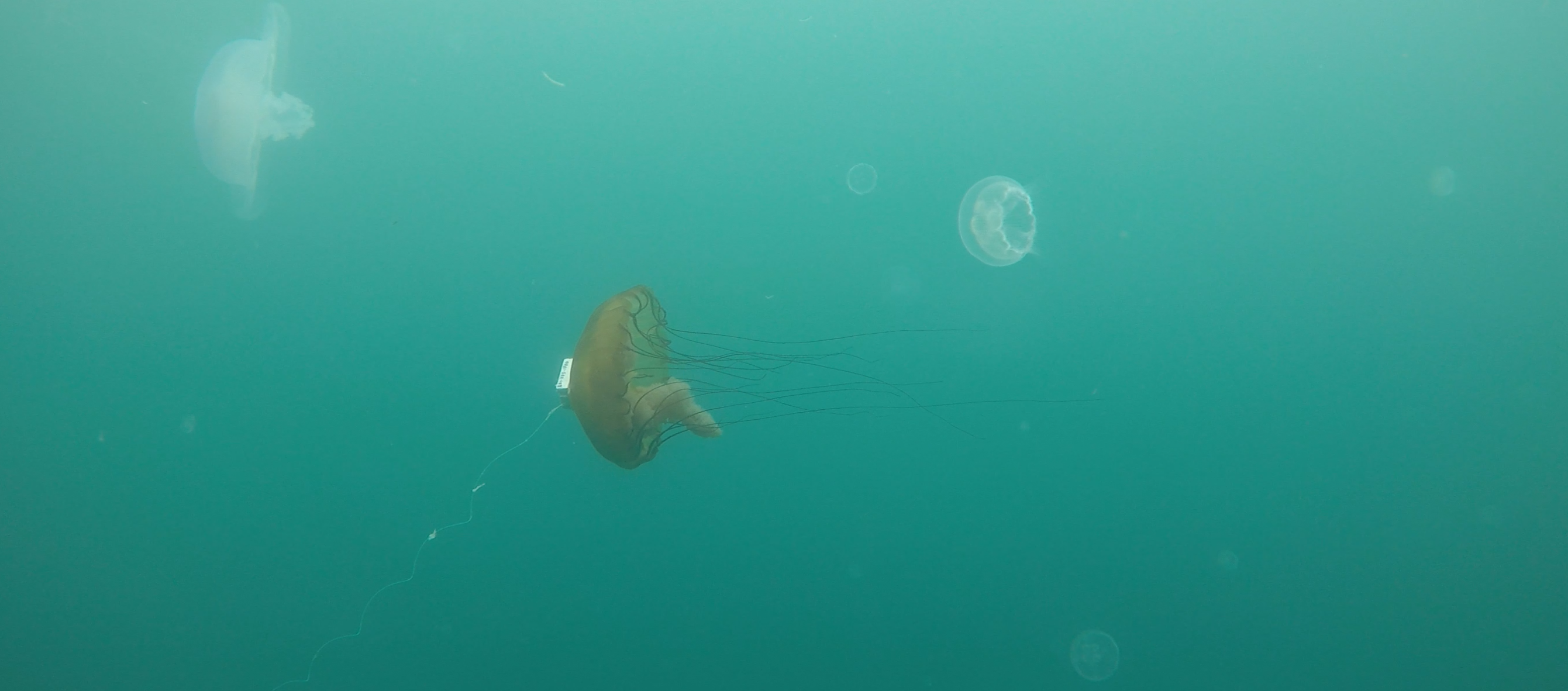 a day in the life of an accidental jellyfish wrangler